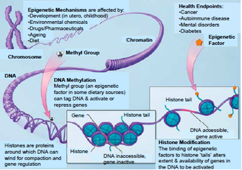 Figure 1. Schematic of epigenetic mechanisms associated with health and disease. Source: nihroadmap.nih.gov