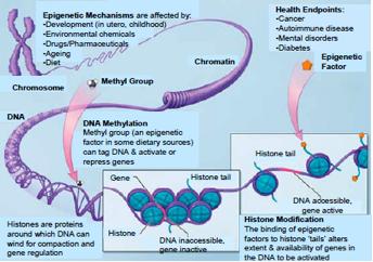 Figure 1. Schematic of epigenetic mechanisms associated with health and disease. Source: nihroadmap.nih.gov